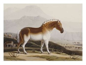 "The Quagga, ""The Qwakka,"" by Samuel Daniells from de.wikipedia.org"