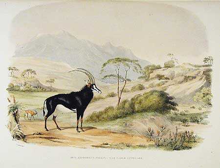 Sable antelope Cornwallis Harris 1840 from www.aradergalleries.com