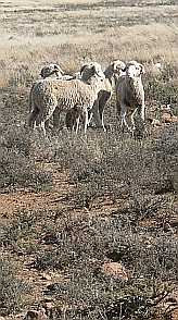 Karoo, Sheep  from www.sasheepdogs.co.za